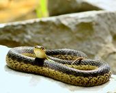 pic of harmless snakes  - A Garter Snake curled up on rocks.