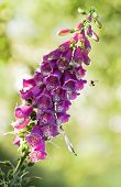 stock photo of digitalis  - Purple foxglove or Digitalis purpurea flowers in eveningsun light with bumble bees and damselfly