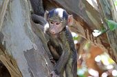 pic of anubis  - A baby olive baboon  - JPG