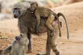 foto of anubis  - An olive baboon family  - JPG