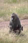 picture of anubis  - A male olive baboon  - JPG