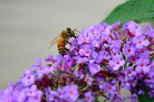 stock photo of butterfly-bush  - Close up of a honey bee on a butterfly bush - JPG
