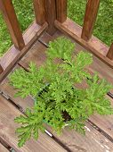 stock photo of mosquito repellent  - Looking down on a potted citronella mosquito plant outside on a deck - JPG