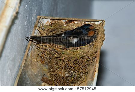 Swallow Brooding On Rain Gutter Nest
