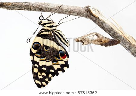 Citrus swallow tail
