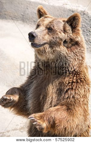The Brown Bear (ursus Arctos) Is Among The Largest And Most Powerful Of All Land Carnivores