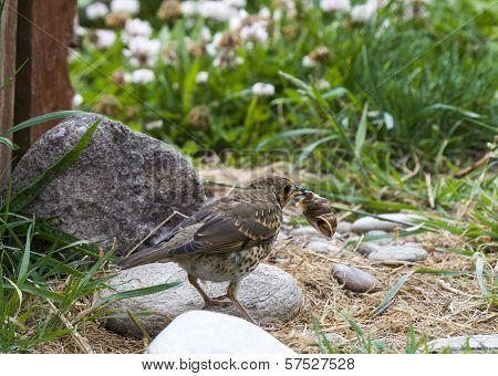 Thrush With Snail