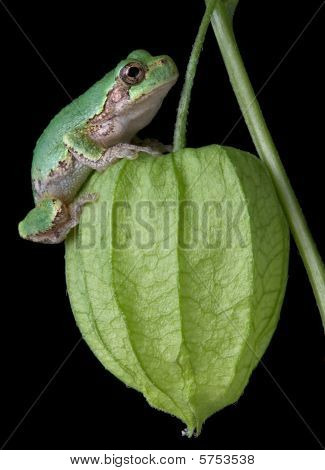 Gray Tree Frog On Chinese Lantern