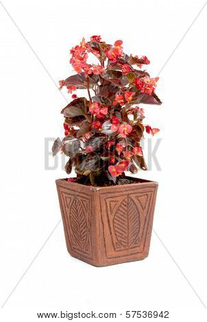 Ornamental Red Leaf Begonia Potplant In Handmade Pot