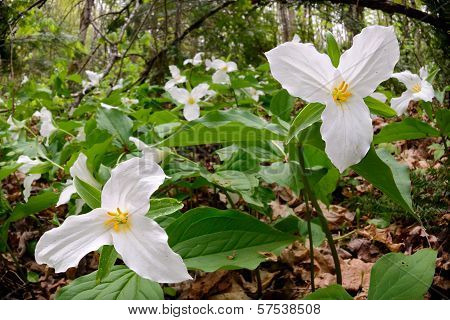 Trillium Bed - Low Angle