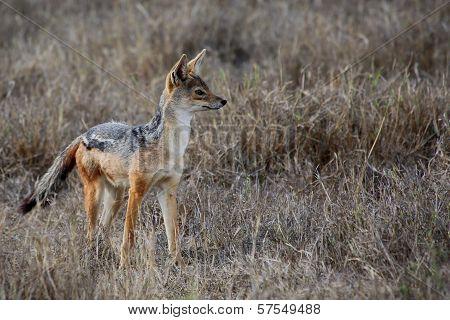 Wild Hunting Jackal