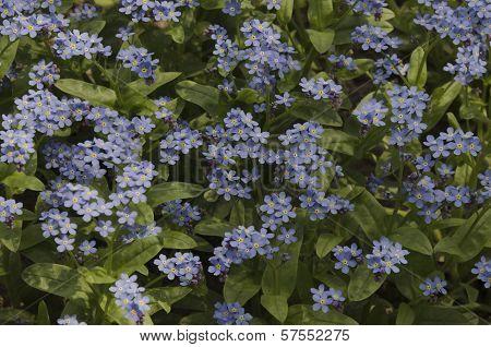 Blue forget me not (Alyosotis palustris) flower