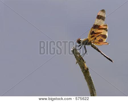 Sunlit Dragonfly