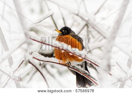Robin In Ice Storm - Below Angle