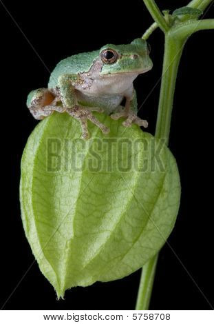 Tree Frog On Chinese Lantern