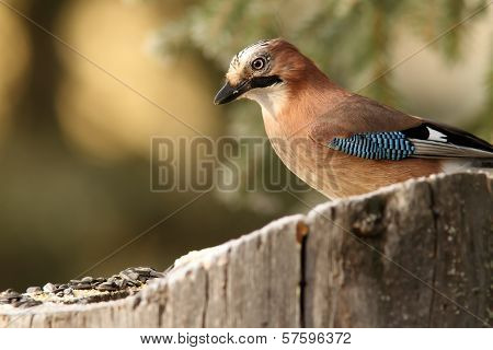 Common Jay Garrulus Glandarius
