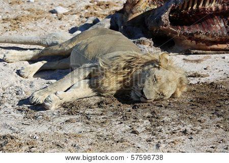 Lion with Cadaver