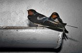 stock photo of barn house  - Couple of Hirundo rustica or Barn Swallow perched on a rain gutter where they - JPG