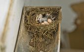 stock photo of gutter  - Hirundo rustica or Barn Swallow eggs made on a rain gutter - JPG