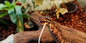 picture of harmless snakes  - Photo of a ball python eating one white mouse - JPG