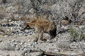 stock photo of hyenas  - Spotted Hyena in Etosha National Park - JPG
