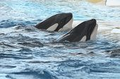 picture of orca  - Orcinus Orca Whale on a very Blue Water - JPG