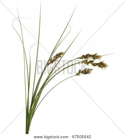 Bunch of SAND SEDGE Carex grass plant  (lat. Carex arenaria) (Cyperaceae)  Isolated on white background