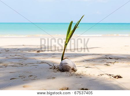 White Sand Beach And Coconut
