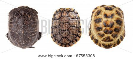Tortoiseshell on white