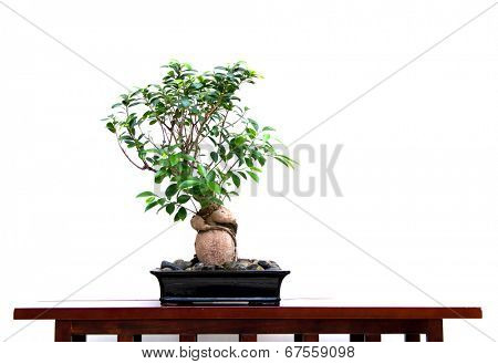 banyan tree with white background