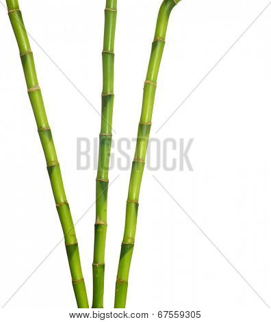green bamboo  isolated on a white background