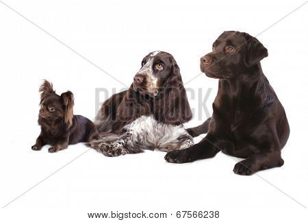 Group of  dogs , chocolate coat color