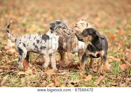Adorable Louisiana Catahoula Puppies Playing