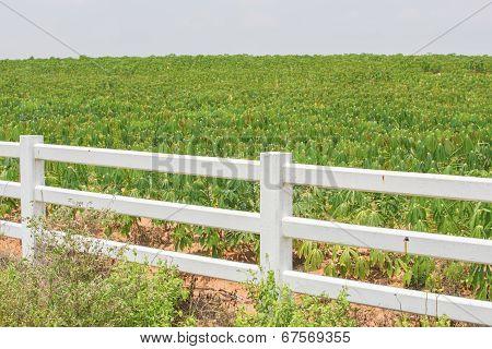 Fence And Cassava.