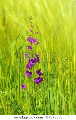 Larkspur Flower
