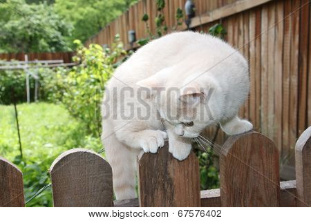 cream British kitten sits on a fence among green plants