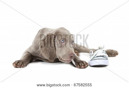 Weimaraner Puppy Chewing The Lace Of A Shoe, Isolated On White