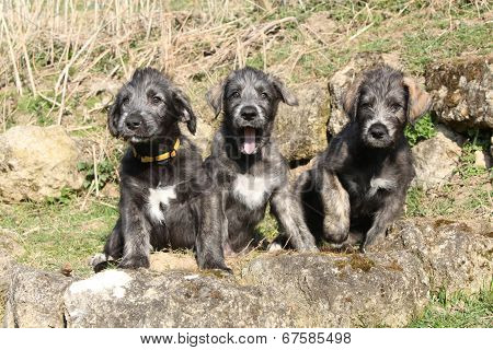 Three Irish Wolfhounds In The Garden