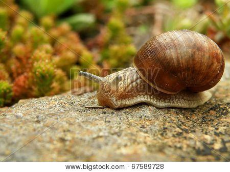 Snail On Stone