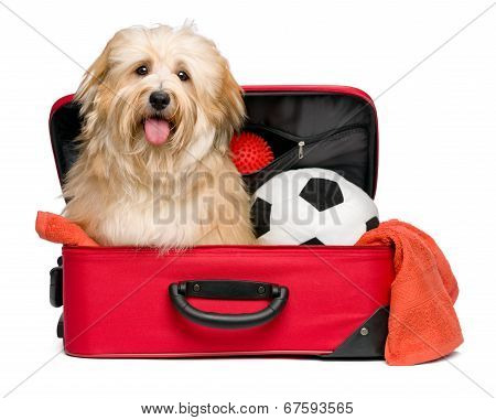 Happy Reddish Bichon Havanese Dog In A Red Traveling Suitcase