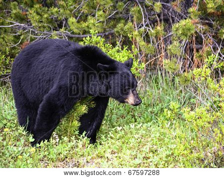 American black bear in the spring