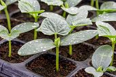 pic of greenhouse  - cucumber seedling on tray in greenhouse on farm agricultural - JPG