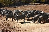 stock photo of pig-breeding  - livestock of cinta senese typical italian breed of pigs - JPG