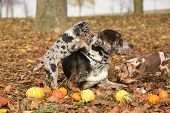 stock photo of catahoula  - Amazing Louisiana Catahoula dog with adorable puppies in autumn - JPG