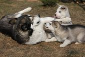 pic of malamute  - Alaskan malamute parent playing with puppies on the garden - JPG