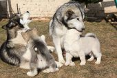stock photo of malamute  - Alaskan malamute parents playing with puppies on the garden - JPG