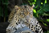 picture of snow-leopard  - A close up shot of an African Leopard - JPG