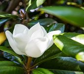 stock photo of magnolia  - Full bloom of magnolia blossom in green leaves - JPG