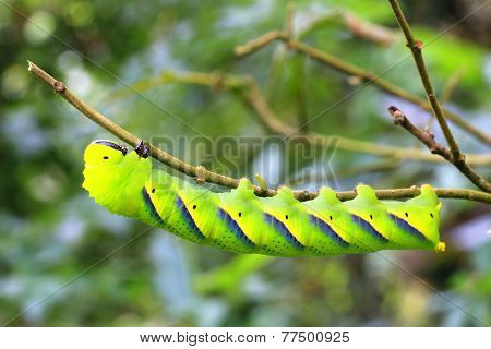 Larva of sphingidae