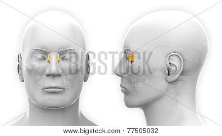 Male Lacrimal Skull Anatomy - Isolated On White